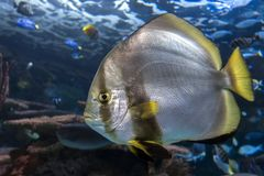 Orbicular batfishPlatax orbicularis - hav- och havsfisk Arkivfoton
