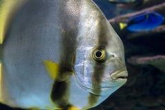 Orbicular batfishPlatax orbicularis - hav- och havsfisk Arkivbilder