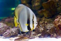 Orbicular batfishPlatax orbicularis i djupblått, Röda havet, Egypten Arkivfoto