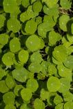 Orbicular bladtypväxter Royaltyfria Bilder