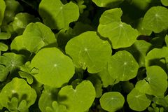 Orbicular bladtypväxter Royaltyfri Fotografi
