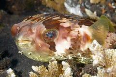 Orbicular Burrfish Arkivbild