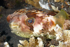 Orbicular Burrfish Stock Photography