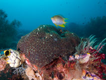 Orbicular Damsel hovers over reef in  Raja Ampat, Indonesia Stock Photography