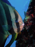 orbicular spadefish Arkivfoton