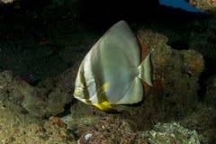 Orbicular Spadefish (batfishen) Royaltyfri Foto