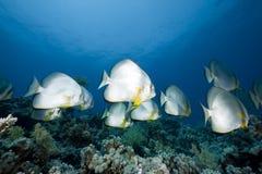 orbicular spadefish för hav Fotografering för Bildbyråer