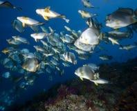 orbicular spadefish för korallhav Royaltyfri Foto