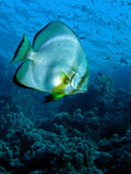 Orbicular Spadefish - Platax orbicularis. Swimming over a coral reef Royalty Free Stock Photography