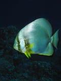 Orbicular spadefish Stock Photos