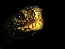 Orbicularis d'Emys Image libre de droits
