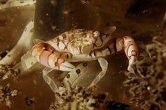 Orbicularis de Lissocarcinus - caranguejo do Harlequin Imagem de Stock