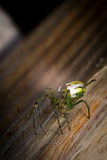Orbweaver Orchard Spider. Yellow and green frightening orbweaver orchard spider in macro closeup Stock Photo