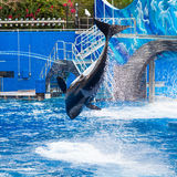 A orca é de salto e mostrando o corpo inteiro Imagens de Stock
