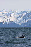 orca β βουνών Στοκ Φωτογραφία
