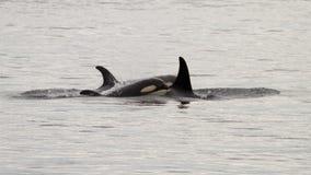 Orca μωρών με την οικογένειά του Στοκ Εικόνα