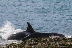 Orca Παταγωνία, Αργεντινή στοκ εικόνα με δικαίωμα ελεύθερης χρήσης