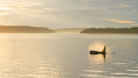 Orca στο ηλιοβασίλεμα Στοκ φωτογραφία με δικαίωμα ελεύθερης χρήσης