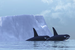 Orca. Two Killer Whales swim near an iceberg in the Arctic Ocean Royalty Free Stock Images