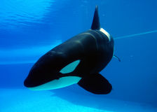 Orca. Playing in a pool of blue water Royalty Free Stock Photos