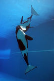 orca Royaltyfria Bilder