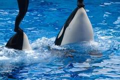 Orca Fotografia Stock Libera da Diritti