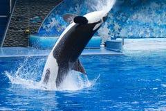 Orca Fotografia Stock