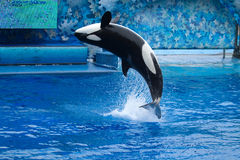 Orca. Killer whale or an orca does tricks at the park stock photography