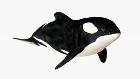 Orca. An orca or killer whale is a large marine mammal Royalty Free Stock Photos