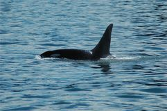 Orca surfacing royalty free stock images