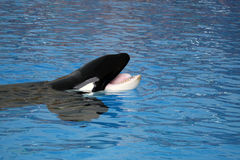 Orca Royalty Free Stock Photo