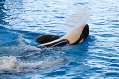 Orca Stock Image