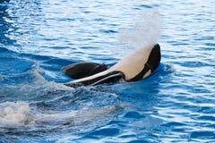 orca Fotografering för Bildbyråer