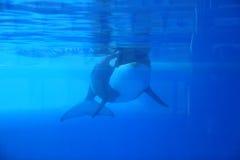 Orca Fotografie Stock