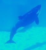 orca Arkivfoto