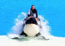 Orca Immagini Stock