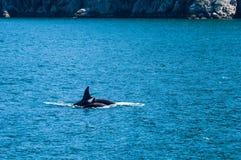 Orca Foto de archivo
