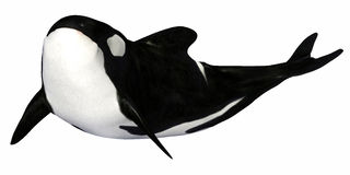 Orca. Illustration of an isolated Orca on a white background Royalty Free Stock Photography