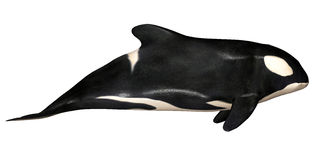 Orca Stock Images