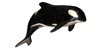 Orca. Illustration of an isolated Orca on a white background Stock Photography