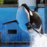 Orca. Killer whale at Seaworld Florida royalty free stock images