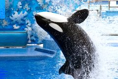 Orca. Killer Whale jumping out of a pool Stock Photo
