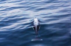 Orca Στοκ εικόνες με δικαίωμα ελεύθερης χρήσης