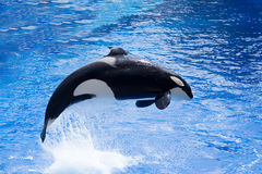Orca. Killer whale in a water park Royalty Free Stock Photography