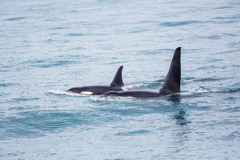 Orca Στοκ Φωτογραφίες