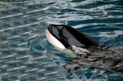 Orca in acqua Fotografia Stock Libera da Diritti