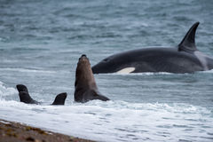 Orca attack a seal on the beach Stock Images