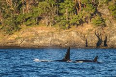Orca with Baby During Sunset Stock Photos