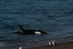 Orca - Orca beaching on punta norte, patagonia argentina. Orca beaching on Punta Norte , Peninsula Valdes , Argentina royalty free stock photos