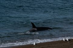 Orca - Orca beaching on punta norte, patagonia argentina. Orca beaching on Punta Norte , Peninsula Valdes , Argentina stock images